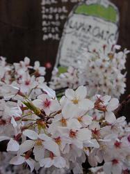 高瀬川の桜(4)