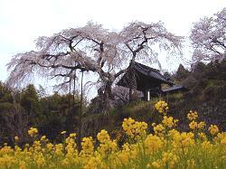 地蔵禅院の枝垂れ桜(1)