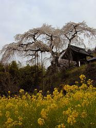 地蔵禅院の枝垂れ桜(2)