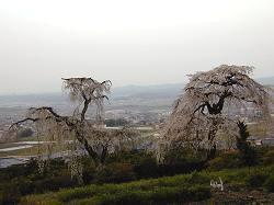 地蔵禅院の枝垂れ桜(3)