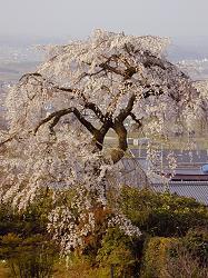 地蔵禅院の枝垂れ桜(4)
