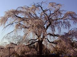 円山公園の枝垂桜(1)