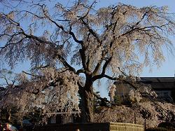 円山公園の枝垂桜(2)