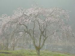 京北町の枝垂桜(1)