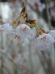 京北町の枝垂桜(3)