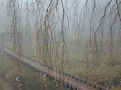 京北町の枝垂桜(2)