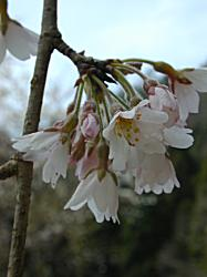 萱葺の里の枝垂桜(1)