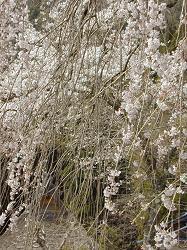 萱葺の里の枝垂桜(2)