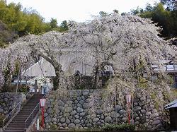 瑠璃寺の枝垂桜(1)