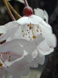 瑠璃寺の枝垂桜(2)