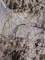 瑠璃寺の枝垂桜(3)