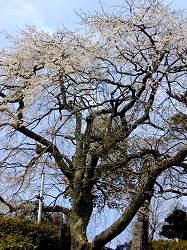 雲源寺の枝垂桜(2)