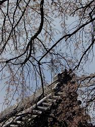 雲源寺の枝垂桜(3)