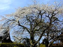 雲源寺の枝垂桜(4)