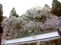 福徳寺の枝垂桜(2)