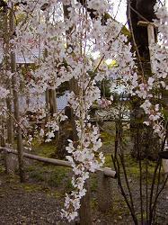 福徳寺の枝垂桜(3)