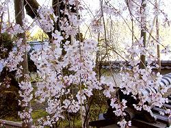福徳寺の枝垂桜(4)