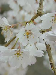 福徳寺の枝垂桜(5)