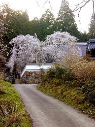 福徳寺の枝垂桜(6)
