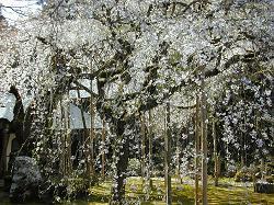 常照皇寺の九重桜(1)