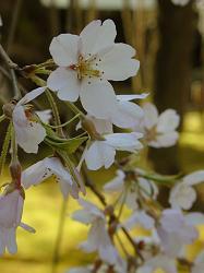 常照皇寺の九重桜(2)
