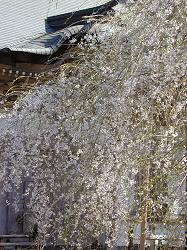 常照皇寺の九重桜(3)