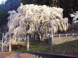 魚ケ渕の枝垂桜(1)