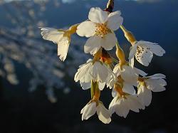 魚ケ渕の枝垂桜(2)