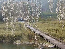 魚ケ渕の枝垂桜(3)