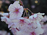 ハツミヨザクラの花びら