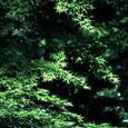 三千院の新緑